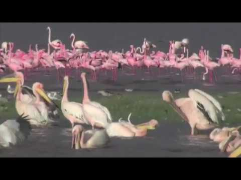 The amazing birdlife of Lake Nakuru in Kenya