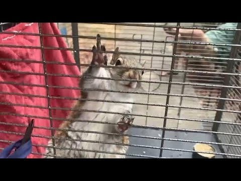 شاهد: أمريكي يحبس سنجاباً ويعطيه عقاراً محظوراً ليحوله لحيوان متوحش…  - نشر قبل 2 ساعة