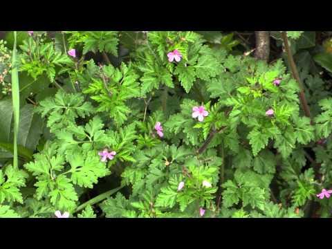 Geranium robertianum - Ruprechtskraut, Storksbill