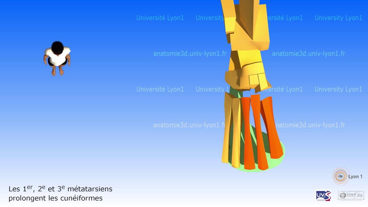 Anatomie Du Pied 3D le pied simplifié: architecture osseuse - youtube