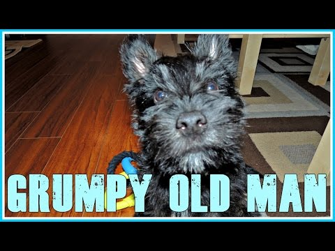 MacDuff The Scottish Terrier is Like a Grumpy Old Man
