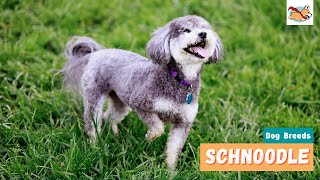Schnoodle: A Dog Lover's Guide To The Fun, Playful Schnauzer Poodle Mix!