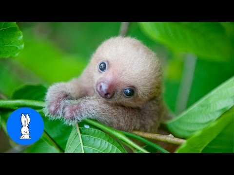 Thumbnail: Baby Sloths Being Sloths - Animal Compilations
