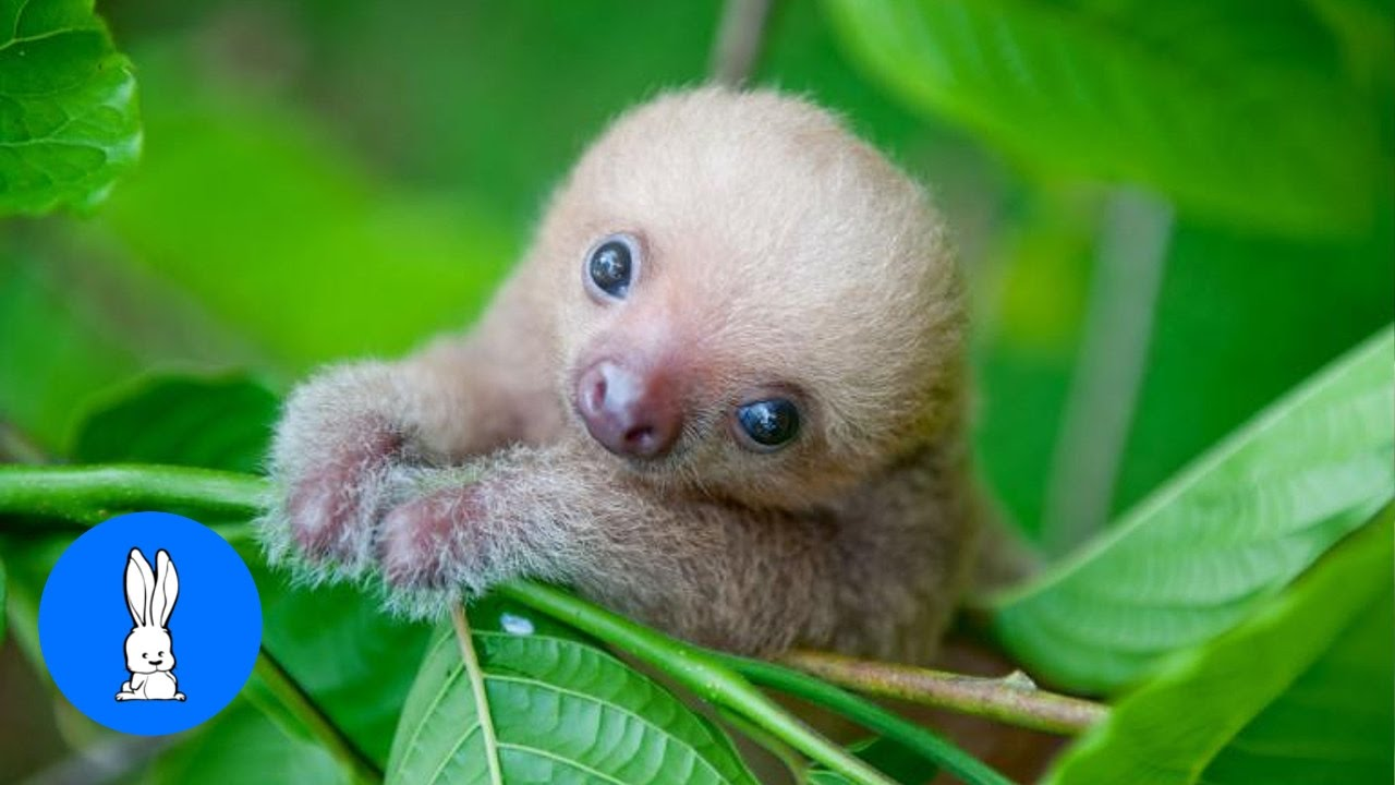 Baby Sloths Being Sloths - FUNNIEST Compilation - YouTube Baby Sloths
