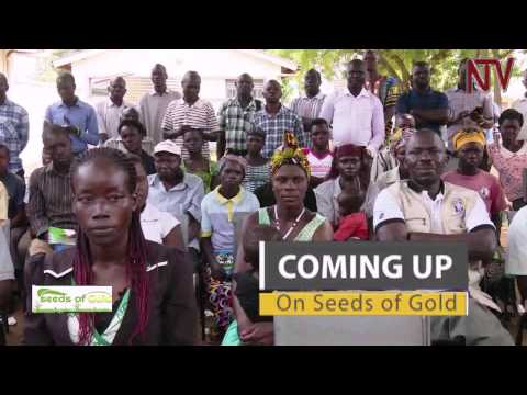 Seeds of Gold: Growing Sweet Potatoes