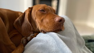 24 HOURS WITH A VIZSLA  CUTE BUT A PYSCHO | Sophia Lorax
