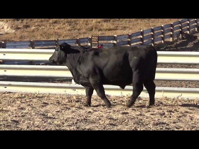 Connealy Angus Lot 212