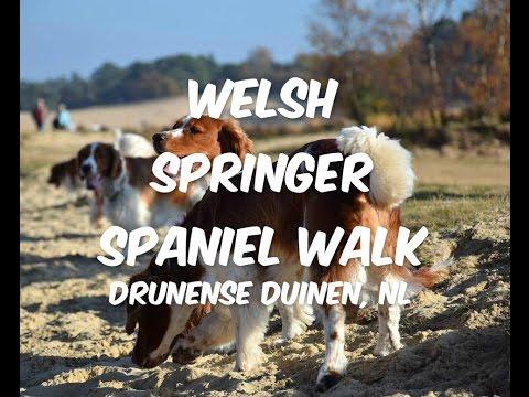 Welsh Springer Spaniel walk, Drunense duinen NL