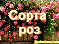 Сорта роз с фото и названиями mp3
