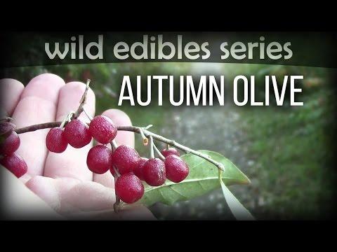 Autumn Olive - Wild Edibles Series