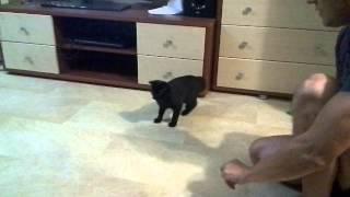 Кошка ведет себя как собака