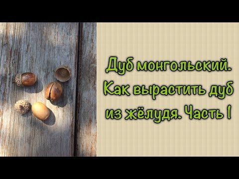 #дуб #желудь #дерево #житьёбытьё Дуб монгольский. Как вырастить дуб из жёлудя. Часть 1