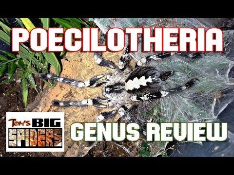 Poecilotheria - Genus Review