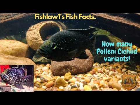 How Many Paratilapia Polleni Cichlid Variants Are They? Answered!!!