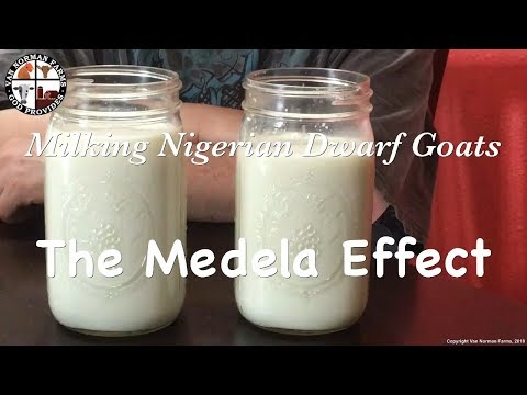 milking-nigerian-dwarf-goats---the-medela-effect-5/13/18