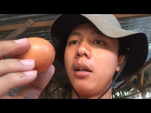Panen Telur Ayam Petelur 200 Ekor