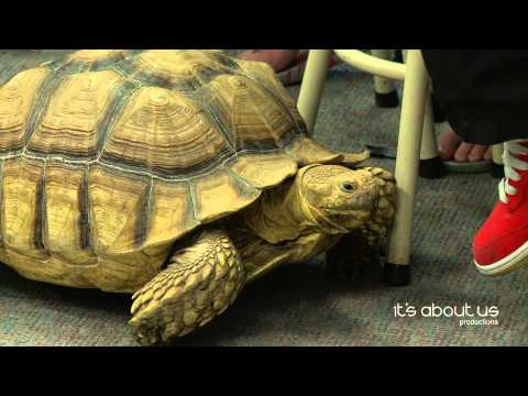 Dozer (Chihuahua dog rides an African spur thigh tortoise) Goes to School