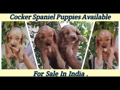 Cocker Spaniel Puppies Available For Sale / Dogs Price List