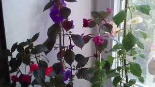 Комнатные растения (ахименесы,эсхинантус,кампанула и другие)