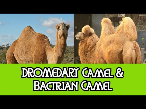 Dromedary Camel & Bactrian Camel - The Differences