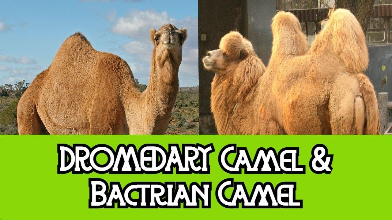 Dromedary Camel Bactrian