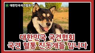 대한민국 국견협회 국견 혈통 진돗개들 입니다   대한민…
