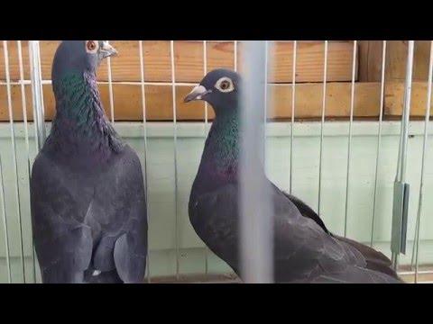 Black racing pigeons - YouTube