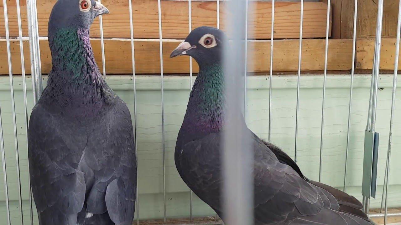 Black racing pigeons