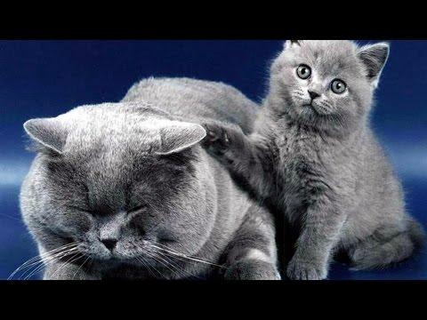 Русская Голубая кошка, Породы кошек, описание