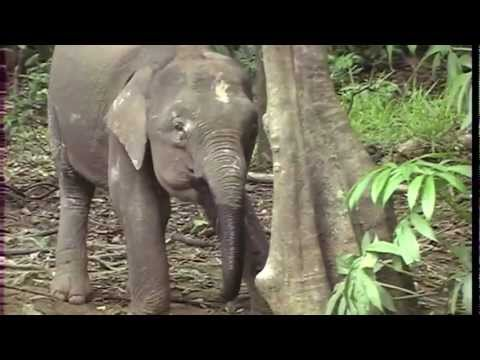 Borneo Indonesian Kalimantan   In Search Of The Pygmy Elephants Full Length Documentary
