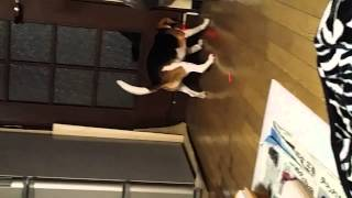ビーグル犬 バニラ1歳 猫や、小動物がレーザーポインターを追う動画はた...