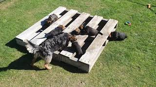 Border Terrier Puppies  fun with pallet  7 weeks old
