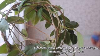 Стефанотис уход(, 2014-12-12T10:18:59.000Z)