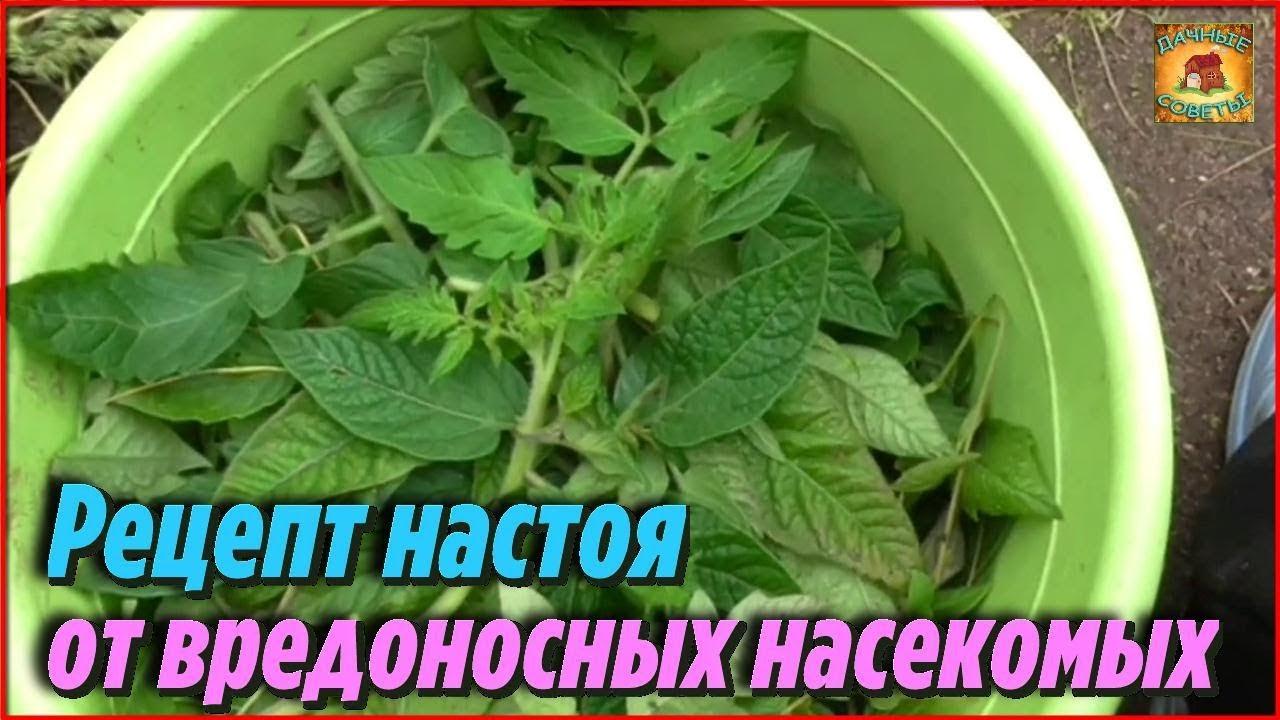 Как использовать ботву томатов. Рецепт настоя от вредоносных насекомых с пользой для сада и огорода