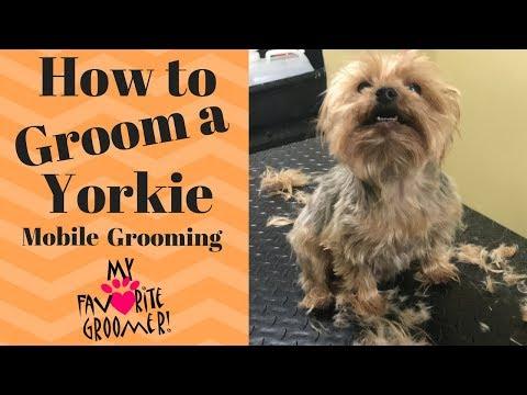 How to Groom a Yorkie (Edward)