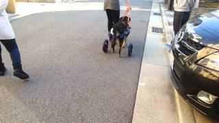 神戸からきてくれたコスモちゃん!!15歳の高齢犬ですが歩きたい気持ち...