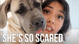 My 6 Month Puppy is Scared of EVERYTHING  Living with a Cane Corso