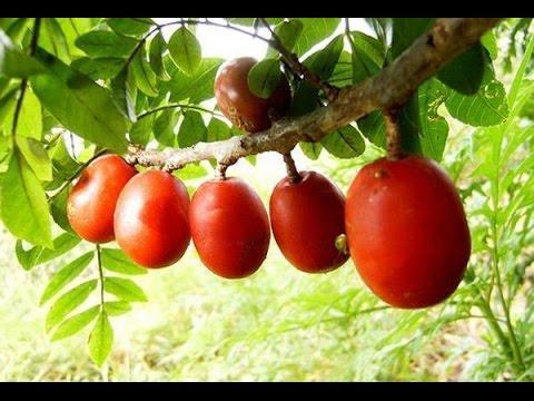 como plantar seriguela para colher em 1 ano