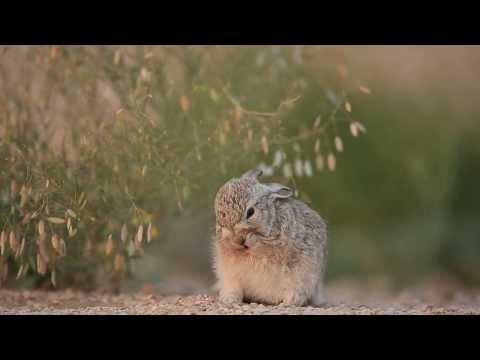 Qatar desert wild rabbit