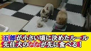 五郎が小さい頃、躾の一環として先住犬のななから先にご飯食べさせてい...