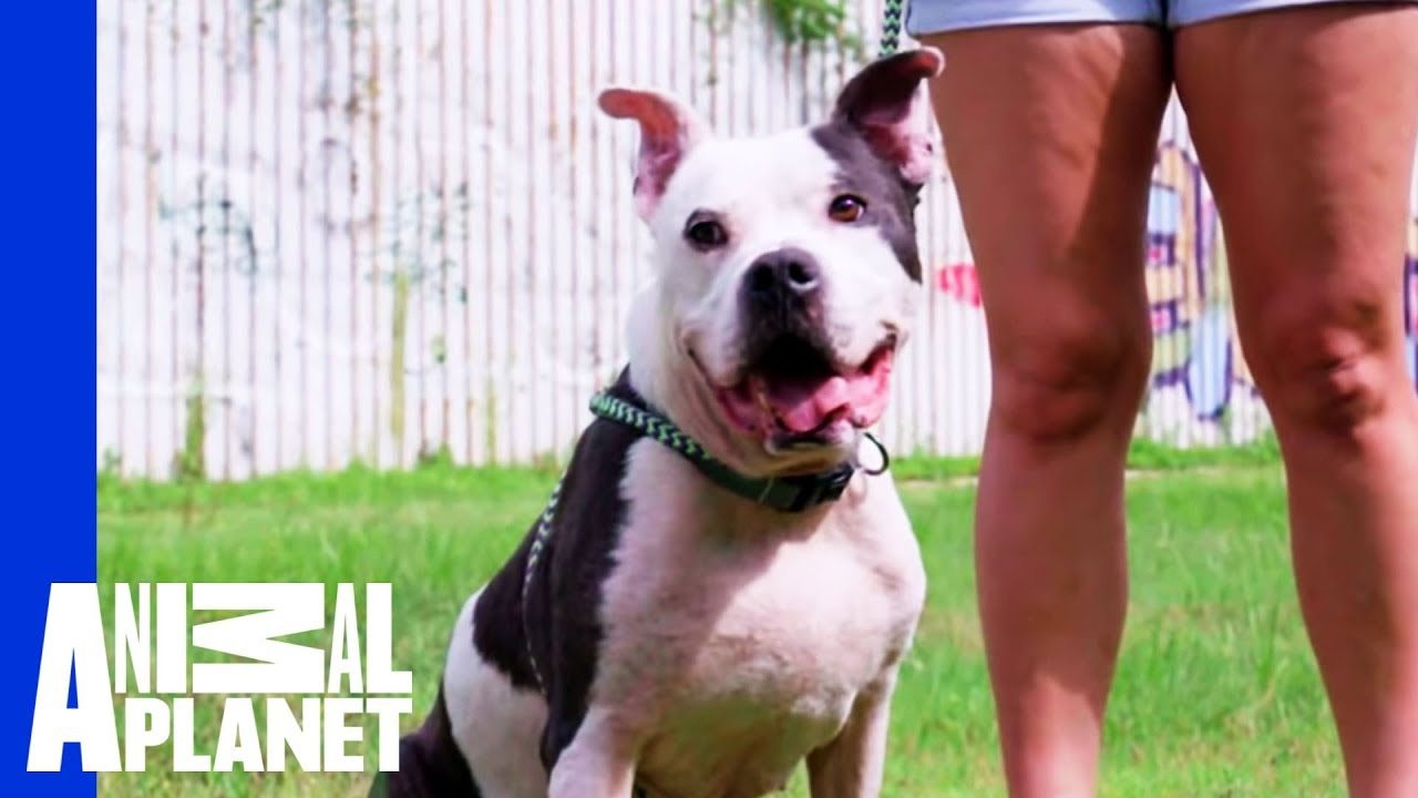 Waiting For A Forever Home Mr Mcgee Pit Bulls Parolees Youtube