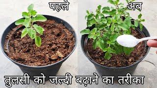7 important points जल्दी बढ़ेगी तुलसी ऐसे लगाएं, Tulsi plant care