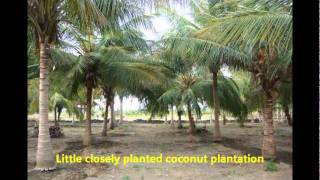 Planting methods and replanting of coconut seedlings