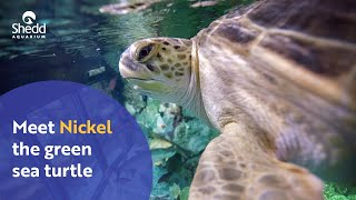 Meet Nickel the Green Sea Turtle