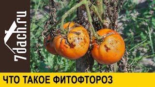 🍅 Что такое фитофтороз - 7 дач