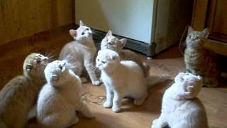 шотландские котята.AVI