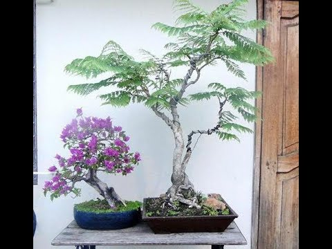 365. Джакаранда через 2 месяца после посева семян. Фиалковое дерево.