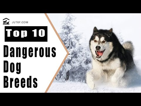 Top 10 Most Dangerous Dog Breeds Based on Bite Fatalities