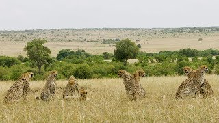 spotting-a-rare-group-of-8-cheetah-seven-worlds-one-planet-bbc-earth