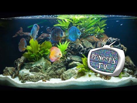 Acquario relax 3 acqua dolce coppia discus pi pesci for Pesci acqua dolce commestibili